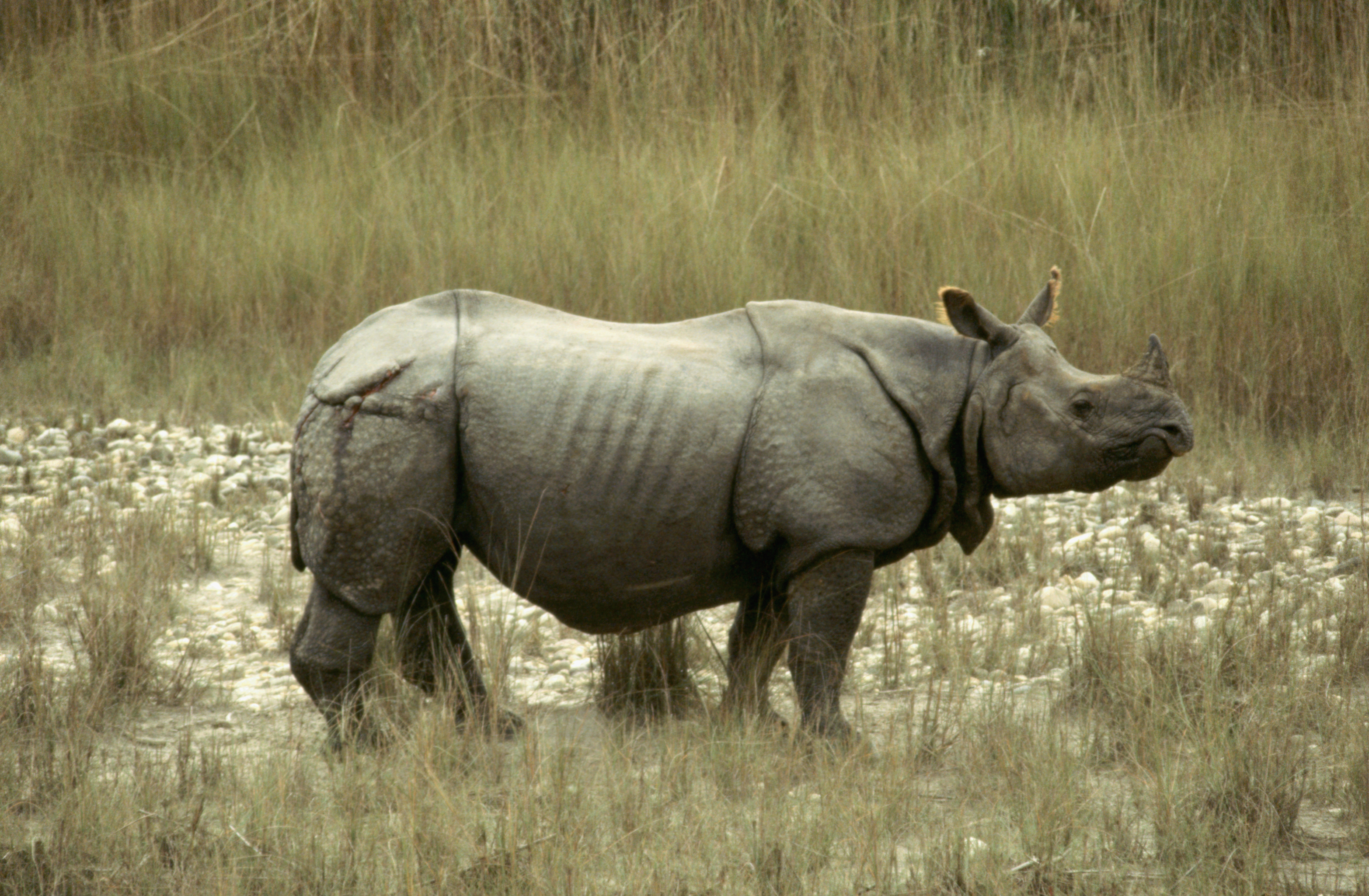 Apologise, asian one horned rhino charming message