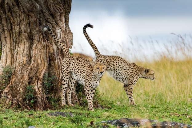 幻灯片 24 - 1: *** EXCLUSIVE ***  MASAI MARA, KENYA - UNDATED: Three cheetahs pictured sniffing around the tree and immediately marking their territory, with this they demonstrate their territorial claim to other cheetahs in the grasslands of Masai Mara, Kenya.  The three cheetah brothers were on their way to the hunt when the German wildlife photographer Ingo Gerlach from Betzdorf in the Westerwald, 65, very quickly recognized this photogenic motif, tree with cheetahs. The three brothers sniffed around the tree and immediately marked their territory. With this they demonstrated their territorial claim to other cheetahs. After some time the brothers set off again. However, the photographer could not follow the gang, as massive boulders made it impossible to get on with the off-road vehicle.  PHOTOGRAPH BY Ingo Gerlach / Barcroft Images (Photo credit should read Ingo Gerlach / Barcroft Images / Barcroft Media via Getty Images)