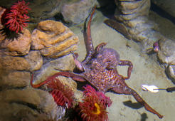 BOSTON, MA - JUNE 30: New England Aquarium biologist Bill Murphy, who cares for giant Pacific octopuses and develops relationships with them, has two new female octopuses, Anna and Sy, photographed June 30, 2016. He often has them come to the surface and interact with him or behind-the-scene visitors as they inquisitively wrap their arms around extended human limbs or occasionally jet a stream of water at someone they do not like. (Photo by David L. Ryan/The Boston Globe via Getty Images)