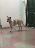 Sneaky dog tiptoes his way around the house