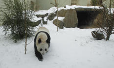 Video: Pandas tumble in snow