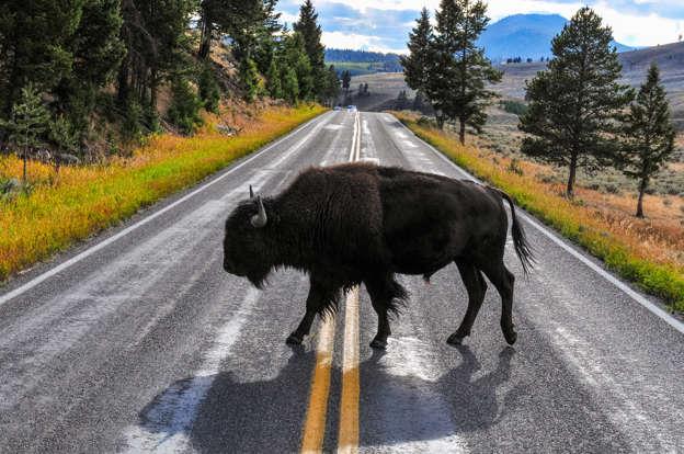 幻灯片 13 - 1: Bison crossing the road near Mammoth Hot Springs, Yellowstone National Park