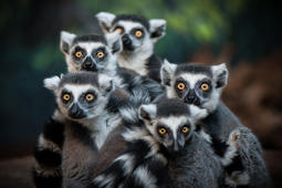 A group of lemurs huddled up, ring tailed lemur, Lemur catta.