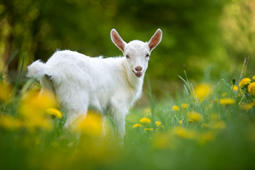 White baby goat standing on green grass with yellow flowers