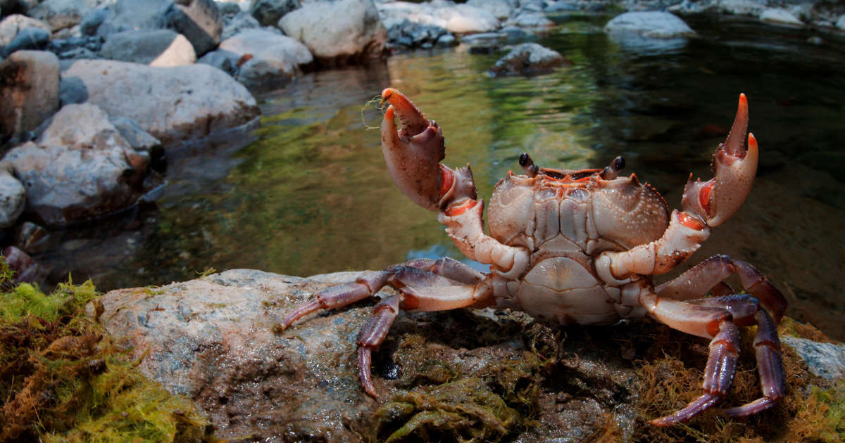 World's biggest crab sheds its ENTIRE shell in jaw-dropping footage