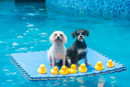 CHENGDU, CHINA - JULY 26:  Dogs play on foam pad in a swimming pool on July 26, 2017 in Chengdu, Sichuan Province of China. 4 swimming pools have been opened to dogs in Chengdu, some of which are equipped with swimming coaches for dogs. Dogs accompanied by their owners enjoy water in swimming pool during summertime.  (Photo by VCG/VCG via Getty Images)