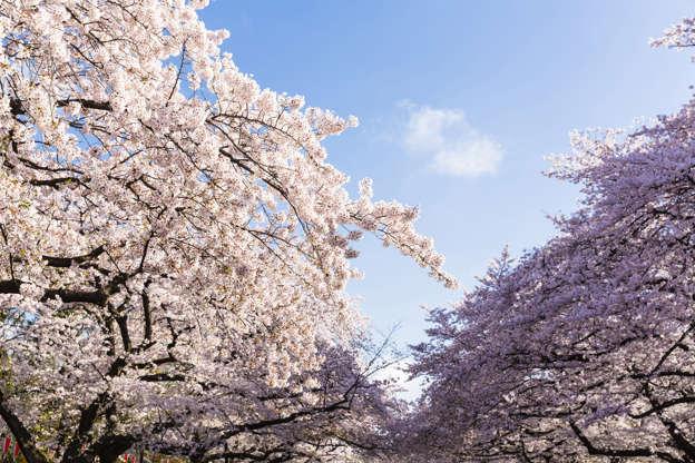 24 枚のスライドの 22 枚目: Blooming Cherry Trees in Spring, Ueno Park, Taito-ku, Tokyo, Japan
