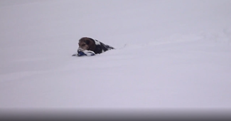 Beagle puppy's first experience with deep snow delights his family