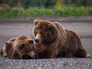 Coastal brown bear, also known as Grizzly Bear, Ursus Arcos, female and cubs. South Central Alaska. United States of America. (Photo by: Education Images/UIG via Getty Images)