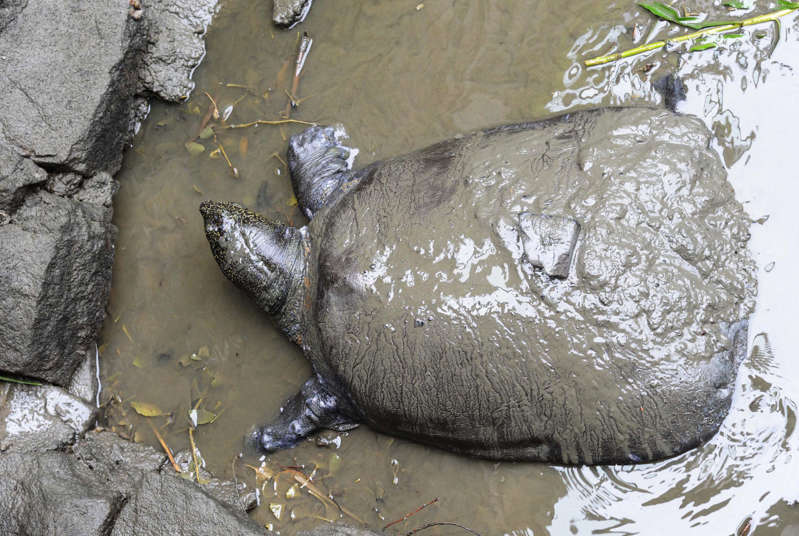 This photo taken on May 6, 2015 shows a female Yangtze giant softshell turtle at Suzhou Zoo in Suzhou in China's eastern Jiangsu province. The world's largest turtle is on the brink of extinction.