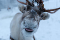 Santa's Animal Farm located outside Levi in the North of Finland hosts a collection of animals, both living inside the barn in the cold and long winter as well as a couple of outdoor animals as reindeer and geese which are well suited to the cold environment