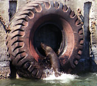 FILE:  A Cape fur seal  leaps into a tyre at the dock of Cape Town harbour 27 November for an afternoon snooze in the summer sun. As the end of the year and the festive season approach, Capetonians and visitors look forward to summer activities.