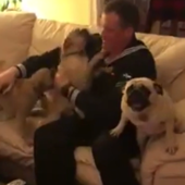 Four pugs reunite with one sailor and the result is hilarious