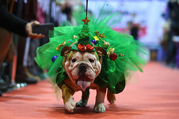 幻灯片 33 - 1: Festively dressed British bulldog seen during December Fest.