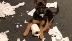 German Shepherd puppy makes a huge mess