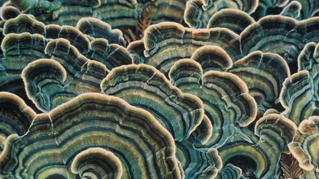 Close-up of bracket fungi (shelf fungi, or shelf mushrooms) in the Los Padres National Forest at Big Sur, California, United States.