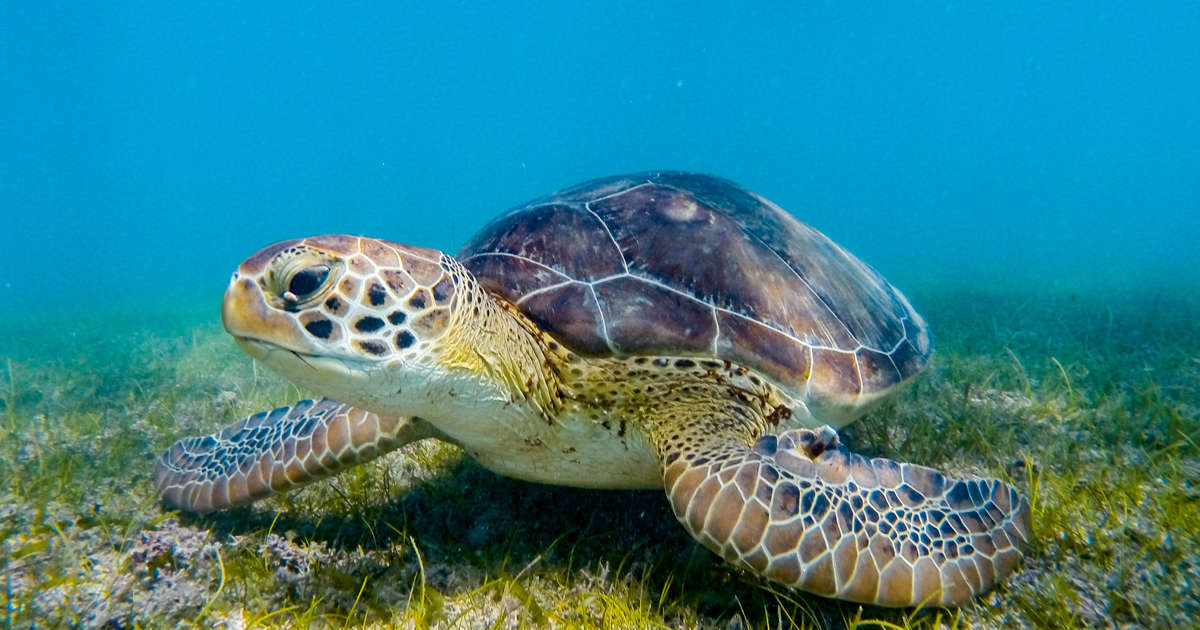 28ab4c9f Endangered Green Sea Turtle Populations Are Recovering