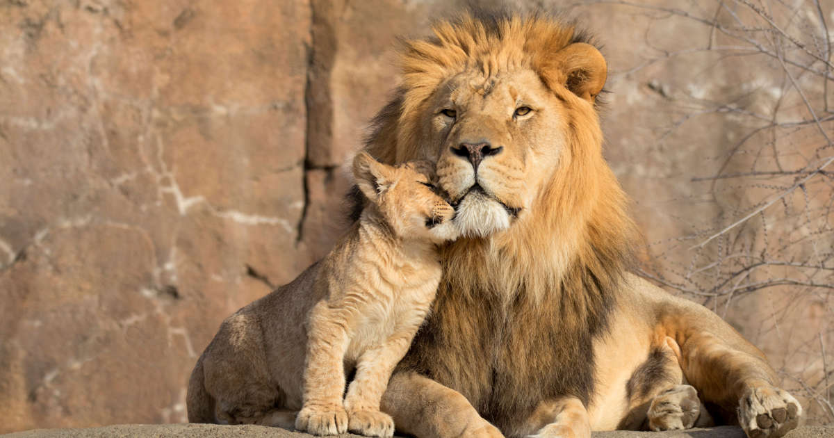 54 lions killed at a farm in two days: Horrified animal
