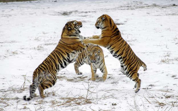 幻灯片 15 - 1: HARBIN, CHINA - NOVEMBER 13: Siberian Tigers play on snowy ground at The Siberian Tiger Park on November 13, 2019 in Harbin, Heilongjiang Province of China. Harbin welcomed the first snow after the start of winter on Tuesday. (Photo by Lyu Pin/China News Service/VCG via Getty Images)