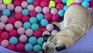 Pug playing in a ball pit is having the absolute best day ever