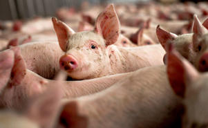 Pigs at Lehmann Brothers Farms LLC in Strawn, Illinois.