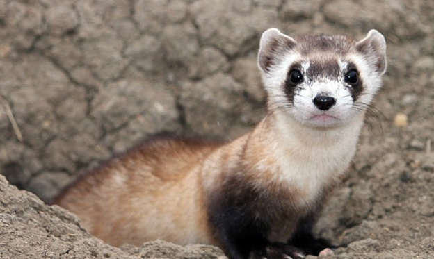圖片 1 /共 36 張: This image provided by the U.S. Fish and Wildlife Service shows a black-footed ferret. September marks the 30th anniversary of the rediscovery of black-footed ferrets more than two years after they had been declared extinct. The black-footed ferret now is one of the most successful examples of species reintroduction anywhere, with wild populations thriving from Canada to Mexico.(