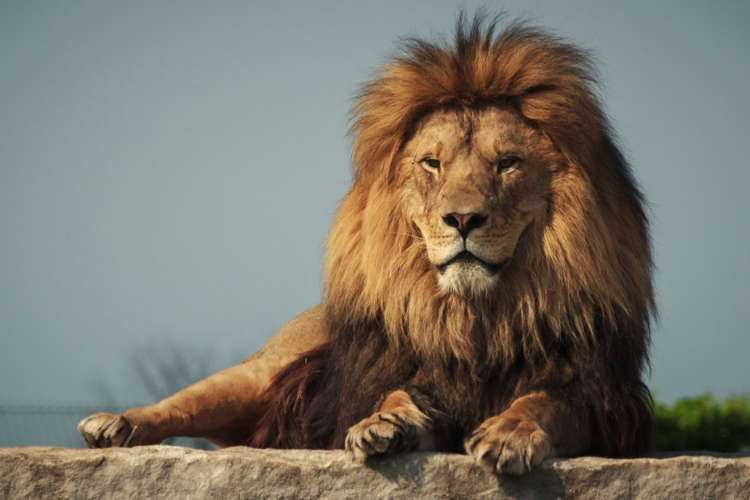 King of the jungle: 15 facts you did not know about lions