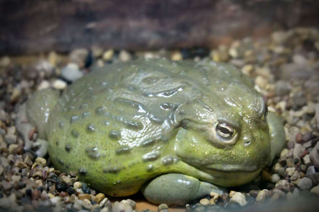 Slide 2 of 18: Bullfrogs are usually considered a delicacy in certain African nations, where people eat the whole frog, not just the legs. However, they contain a range of toxic substances harmful to humans, especially young frogs who are yet to breed — they carry a toxin that can lead to kidney failure.