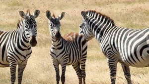 Study: Mystery Behind Zebra Stripes Solved, They Are Not For Camouflage