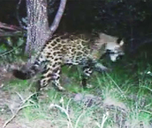 After a jaguar attacked a woman attempting to take a selfie