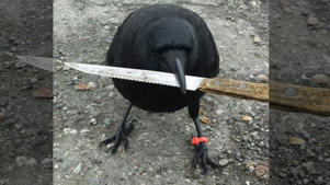 Canuck the crow, a locally famous bird with its own Facebook fan page, has been accused of swooping in, picking up a knife and flying off.