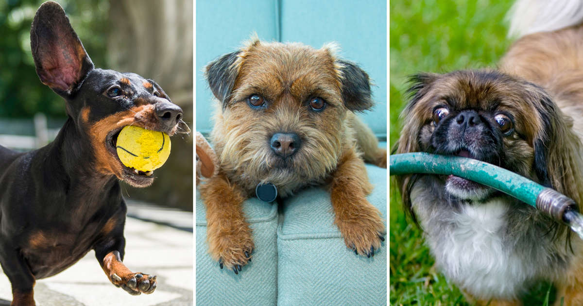 The most and least obedient dog breeds