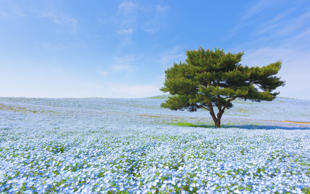 Mountain, Tree and Nemophila at Hitachi Seaside Park in spring with blue sky at Ibaraki, Japan